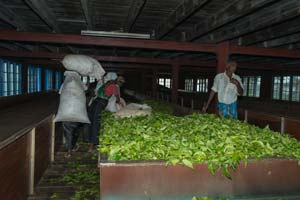 Black tea Harvesting